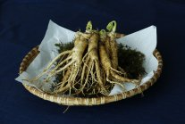 Panax ginseng opinie