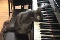 Cat Playing piano like Beethoven: Nora