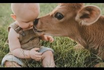Babies and baby Cow become friends Funny Babies and Pets