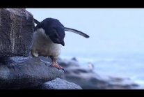 Young Penguin's Narrow Escape and First Swim | BBC Earth