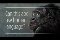 """Can Apes Really """"Talk"""" To Humans? [ENG]"""