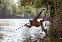 Orangutan from Borneo photographed using a spear tool to fish