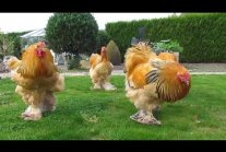 Bad boys ... buff columbian brahma roosters born in april