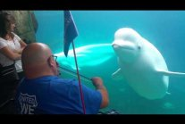 Beluga mesmerized by violin