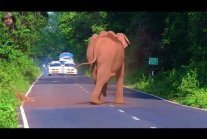 Elephant Chasing Cycle Rider ( Modified Version ).