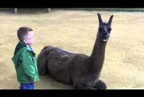 Llama spits in kid's face