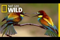 The Life of a Bee Eater | Real Angry Birds