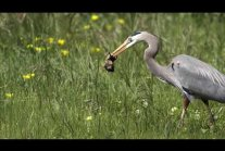 Heron Catches and Swallows a Gopher...not for the squeamish.