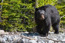 Climate Change Is Making It Hard for Bears to Hibernate Through the Winter