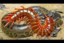 The Snake Passes Where The Giant Centipede Is Lying