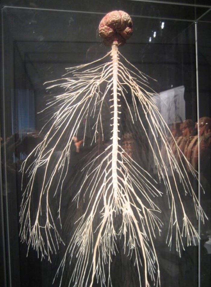 Human nervous system on display - photo#43