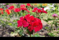How to grow beautiful pelargonium. Step by step.