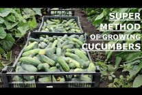 How to Quickly Grow Cucumbers - Part 2