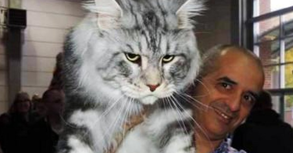 Extra Large Maine Coon Cats For Sale