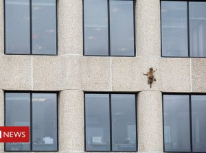 Daredevil raccoon takes on skyscraper