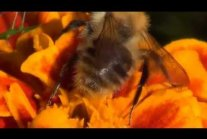 BEE - Collects Nectar [HD